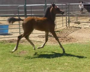Rockin D Arabian Horse Ranch